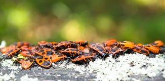 skalbaggar Fotografering för Bildbyråer