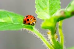 Skalbaggar. Royaltyfri Foto