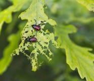Skalbaggar Royaltyfria Bilder