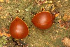 Skalbaggar för Darkling skalbaggar äter champinjoner Royaltyfria Bilder