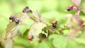 Skalbaggar för Lachnaia vicinablad av Chrysomelidaefamiljen stock video