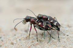 skalbaggar könsbestämmer två Arkivbilder