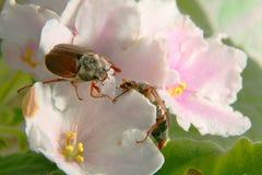 skalbaggar kan Arkivbild