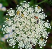 Skalbaggar på blommor Arkivbilder