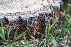 Skalbaggar på en trädstubbe Fotografering för Bildbyråer