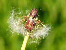 Skalbaggar på maskrosen Arkivbild
