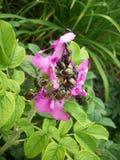 Skalbaggar på rosa färgblomman Arkivfoton