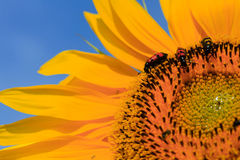 Skalbaggar på solrosen Royaltyfria Bilder