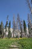 Skalbagge dödade träd i medicinpilbågenationalskog Royaltyfria Foton