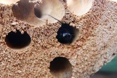 Skalbagge för Wood borrning Royaltyfri Bild