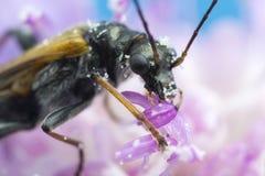 Skalbagge på blommamakrofotoet Royaltyfri Bild