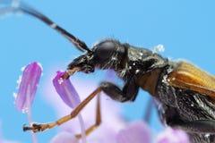 Skalbagge på blommamakrofotoet Arkivfoton