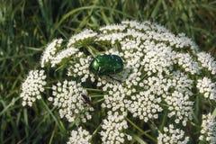 Skalbagge på den vita blomman Arkivbild