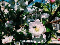 Skalbagge på en blomma Arkivfoton