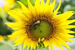 Skalbagge på en solros Royaltyfri Foto