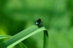 Skalbagge på grässtrået Arkivfoton