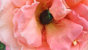 Skalbaggen av gör grön den rosa chaferen rotar aktivt i rosebuden - 34s lager videofilmer