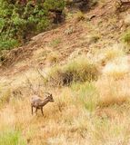 skaliści górskie owce Obrazy Royalty Free