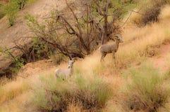 skaliści górskie owce Zdjęcia Stock