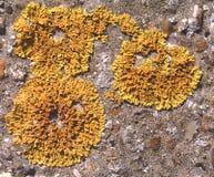 skali liszaju żółty obrazy royalty free