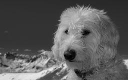 Skalista góra Labradoodle zdjęcie royalty free