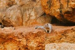 Skalista Zmielona wiewiórka na skale Zdjęcia Royalty Free