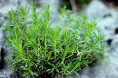 Skaliste dzikiej rośliny gałąź na Śródziemnomorskim regionie suną Zdjęcia Royalty Free