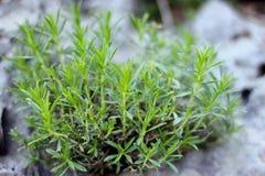 Skaliste dzikiej rośliny gałąź na Śródziemnomorskim regionie suną Obrazy Royalty Free