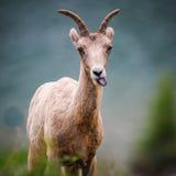 Skalistej góry bighorn cakle (Ovis canadensis) Fotografia Stock