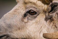 Skalistej góry bighorn cakle (Ovis canadensis) Obraz Royalty Free