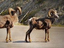 Skalistej góry bighorn, Dziki cakiel Obrazy Royalty Free
