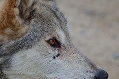 Skalistej góry Popielaty wilk zdjęcie royalty free