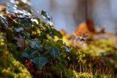 Skalisty działający bluszcza mech i spadki barwiący liście Obraz Stock