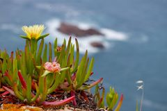 Skalisty oceanu kwiat Iceplant Obraz Stock
