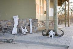 Skallar och ben av vilda djur royaltyfria foton