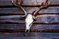 Skalle av en hjort på en trävägg i västra stil Arkivfoton