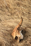 skalle för 3 bison Arkivbild