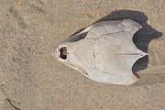 Skalle för havssköldpadda Arkivfoto