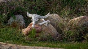 Skalle och ben av buffeln död Arkivfoto