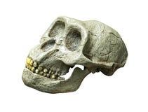 Skallen av Australopithecusafricanusen från Afrika Arkivbild