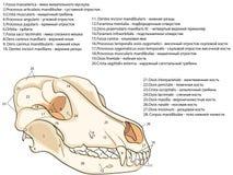 Skallen av en hund Struktur av benen av huvudet, anatomisk design I ryss och latin royaltyfri illustrationer