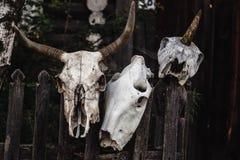 Skallen av en ko, ett får och en enhörning hänger på ett staket fotografering för bildbyråer