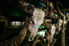 Skallen av hängningar för en tjur på väggen Mycket gammalt och slitet ibland royaltyfri foto