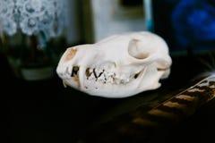Skalleräv som ligger på den mörka tabellen bredvid en hökfjäder royaltyfri fotografi