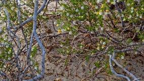 Skallerorm i marklöparen, Death Valley royaltyfria bilder