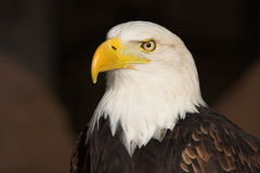 skallig örn Arkivbild