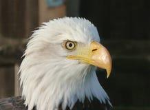 skallig örn Royaltyfri Bild