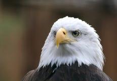 skallig örn Royaltyfri Foto