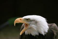 skallig örn Arkivbilder