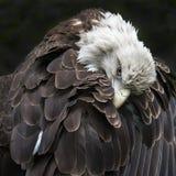 skallig örn Fotografering för Bildbyråer